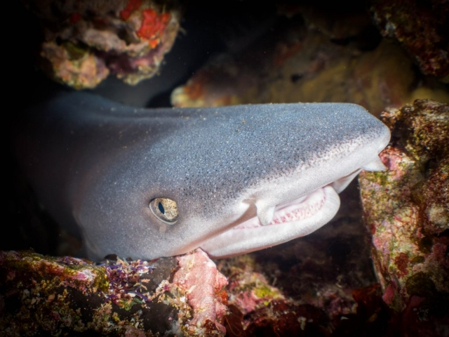 Baby white tip reef shark Gili Islands